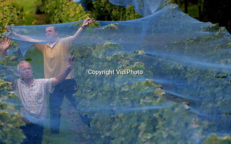 Foto VidiPhoto..DODEWAARD - Nederlandse wijnboeren verwachten een superjaar. In het Gelderse Dodewaard plaatst wijnboer Inno Venhorst dinsdag de netten langs en over een deel van zijn wijngaard om te voorkomen dat vogels zijn oogst opvreten. Venhorst bezit de enige buitendijkse wijngaard van Nederland. Volgens hem hebben de ranken nog nooit zo vol druiven gezeten als dit jaar. Dankzij de hittegolven rijpen de vruchten ook sneller dan vorig seizoen. Gelderland is na Limburg de provincie met de meeste wijngaarden.