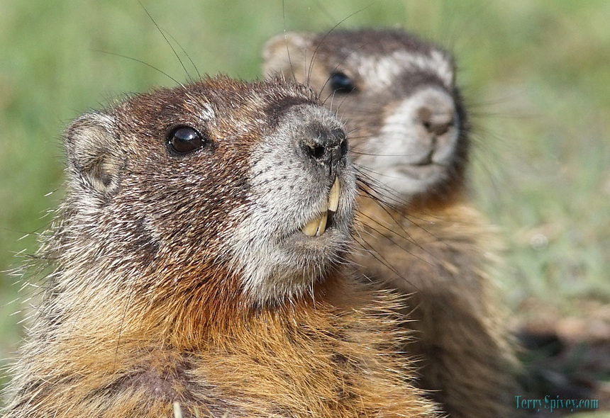 Yellowbelly Marmot