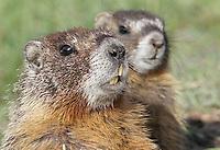 Marmot - Rockchuck