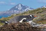 South Georgia Island (British Overseas Territory), gentoo penguin (Pygoscelis papua)