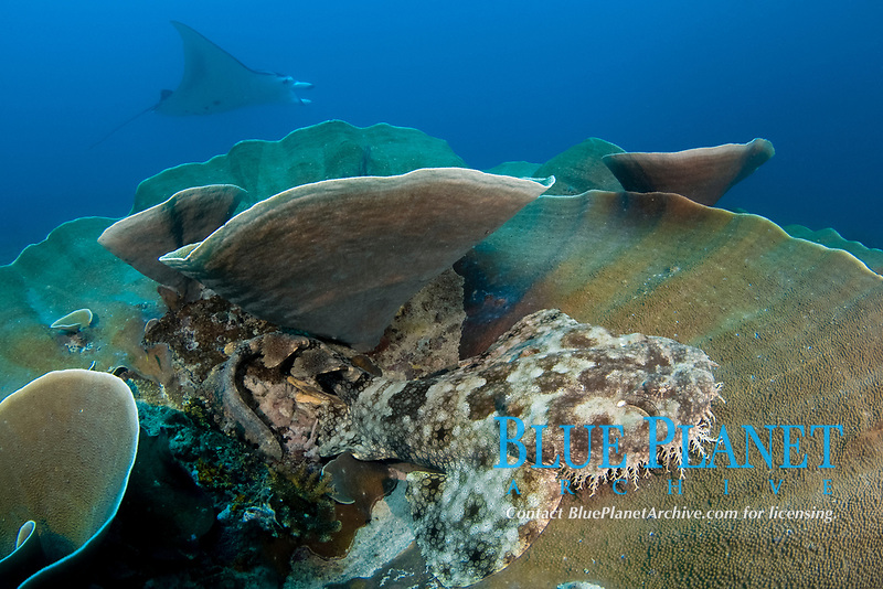 A tassled wobbegong shark, Eucrossorhinus dasypogon, sits on the coral as a reef manta ray, Manta alfredi, passes by, Raja Ampat, West Papua, Indonesia, Pacific Ocean