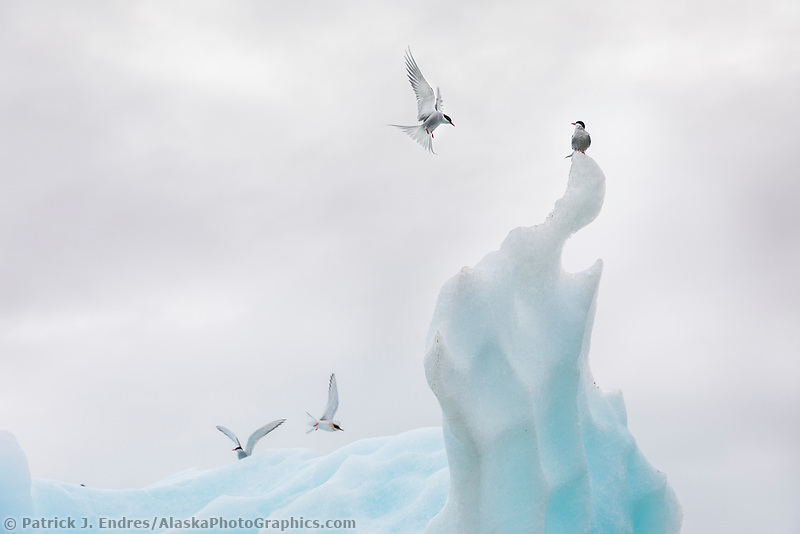 Arctic terns on iceberg in Grand Plateau lake, Glacier Bay National Park, Southeast, Alaska