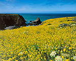 Mustard, Iverson Point, Point Arena, Mendocino County Coast, California