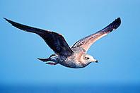 California gull, juvenile, .Larus californicus, .San Diego, California