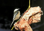 Black-capped chicadee feeding at hanging suet block Parus atricapillus songbird song bird