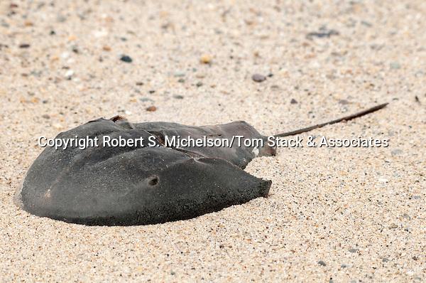Horseshoe crab, South Beach, Chatham,. Massachusetts