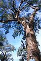 Large Yellow Box tree with Mason Crane. Gundagai woodlands area, NSW