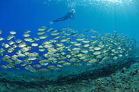 Selar boops, Schwarm von Ochsenaugen-Makrelen und Taucher, school of Oxeye scads, Bali, Tulamben, Indonesien, Indopazifik, Bali, Indonesia Asien, Indo-Pacific Ocean, Asia