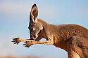 Australia,  NSW, Sturt National Park; red kangaroo licking arm to cool off on very hot day (Macropus rufus); the red kangaroo population increased dramatically after the recent rains in the previous 3 years following 8 years of drought