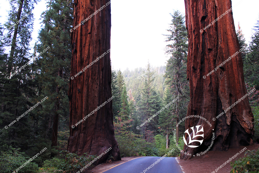 Stock photo: Two giant sequoia trees on the both side of the roads in the Sequoia national park in California, USA.