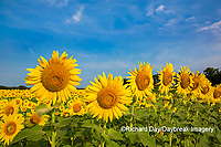 63801-07602 Sunflower field Sam Parr State Park Jasper County, IL