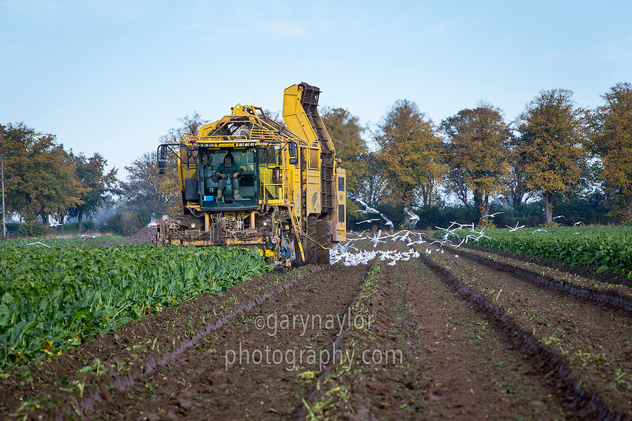 Lifting sugar beet with Roper Tiger - October