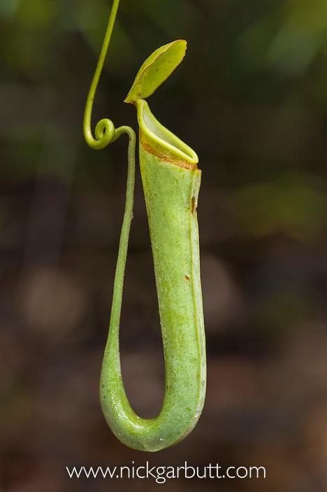 Aerial pitcher of Pitcher Plant (Nepenthes albomarginata). Growing in kerangas heath forest, Bako National Park, Sarawak, Borneo.
