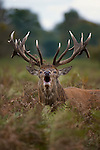 Red deer stag (Cervus elaphus) roaring during the rut at Bushy park, London