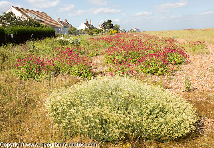 The Curry plant, Helichrysum italicum, and Red Valerian, Centranthus ruber, Shingle Street, Hollesley, Suffolk, England, UK
