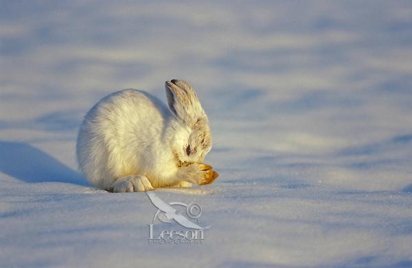 Snowshoe hare (Lepus americanus) grooming, winter, North America.