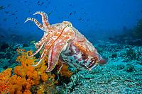 broadclub cuttlefish, Sepia latimanus, Komodo, Indonesia, Indo-Pacific Ocean