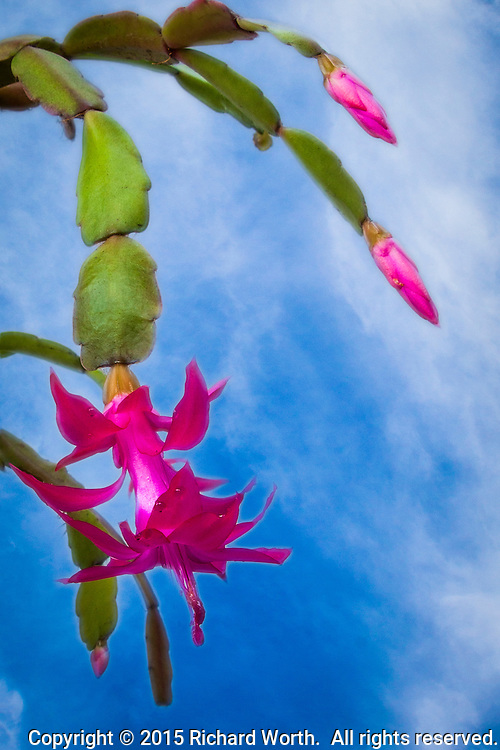 Christmas cactus (Schlumbergera bridgesii) blossom and buds as well as its distinctive stem segments, placed against a background of blue sky and whispy clouds.