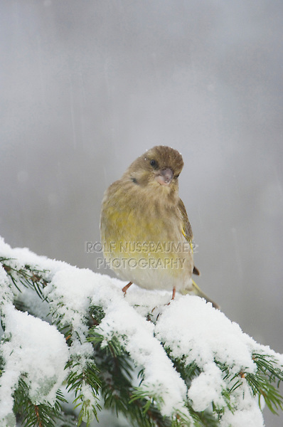 European Greenfinch, Carduelis chloris, female on sprouse branch with snow while snowing, Oberaegeri, Switzerland, Dezember 2005
