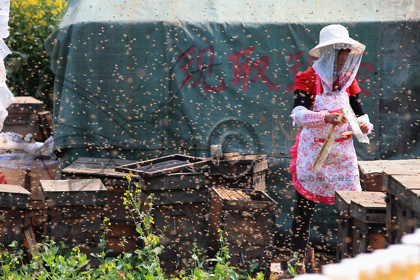 Luoping, Yunnan. A beekeeper works on her hives in the middle of the day surrounded by a multitude of bees in flight.