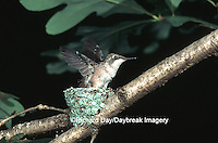 01162-02516 Ruby-throated Hummingbird (Archilochus colubris) nestling exercising wings,  Marion Co.   IL