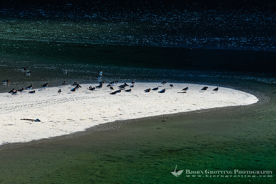 Norway, Lofoten. Along Vestpollen via Laukvik to Fiskebøl. Oystercatchers on sand shoal.