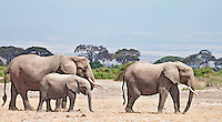Elephants on the move across dusty terrain of the Amboseli Reserve, Kenya, Africa (photo by Wildlife Photographer Matt Considine)