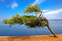 Wind blown tree on near Kamina, Hydra, Greek Cyclades Islands