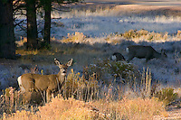 Mule Deer, Bryce Canyon National Park, Utah.  The deer in the forground is a five or six month old fawn which was born in the late spring; now it is mid fall.