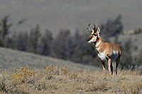 Pronghorn antelope, Antilocapra americana, Yellowstone National Park, Wyoming, USA