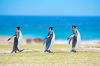 Three King penguins (Aptenodytes patagonicus) walking, Volunteer Point, East Falkland, Falkland Islands, South Atlantic, South America