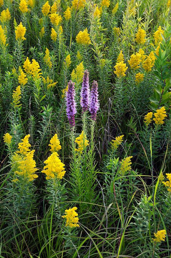 prairie blazing star and goldenrod, Mori Prairie, Iow