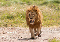 A male Lion, Panthera leo  melanochaita, in Ngorongoro Crater, Ngorongoro Conservation Area, Tanzania