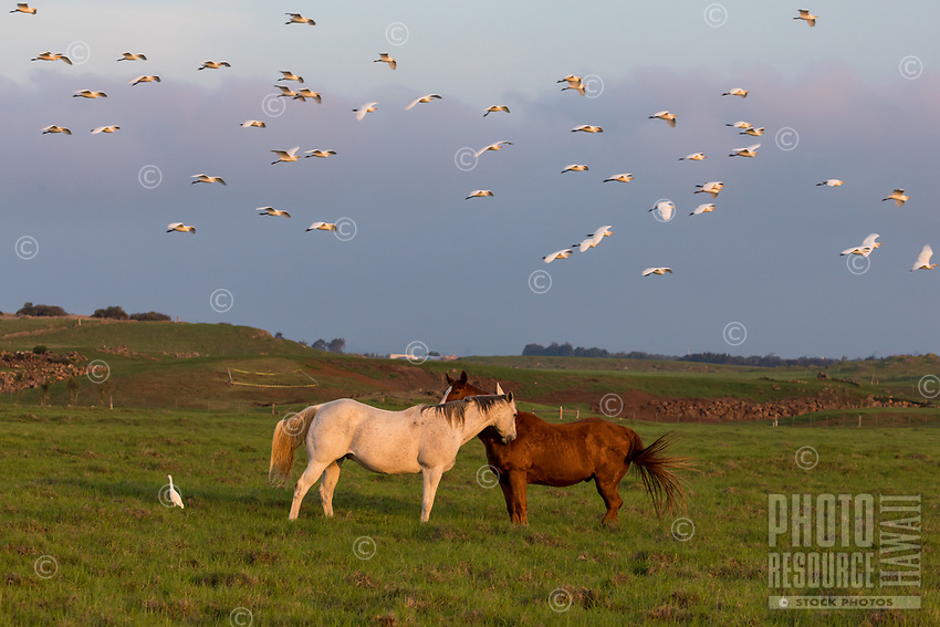 A flock of white cattle egrets fly over two companionable horses in a field in Waimea, Hawai'i Island; one egret chooses to remain close by.
