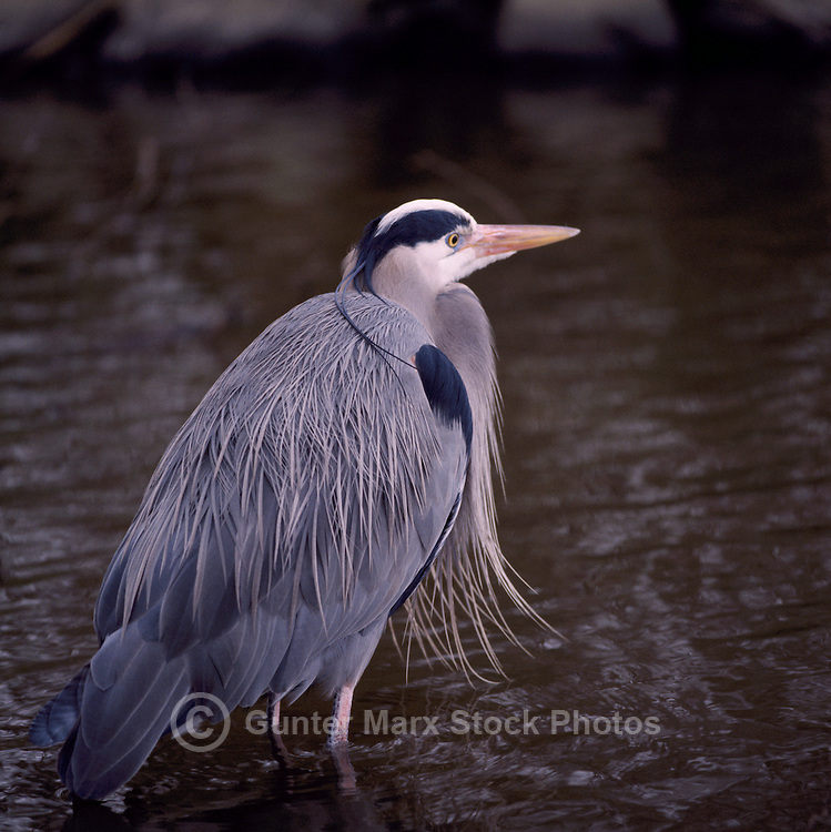 Great Blue Heron (Ardea herodias) standing and fishing in Lake