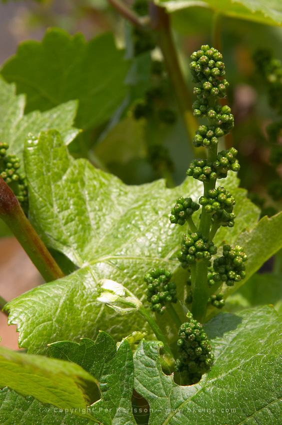 Grape buds. Vine leaf. Pinot Noir. Domaine Henri Bourgeois, Chavignol, Sancerre, Loire, France