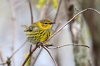 Cape May Warbler (Setophaga tigrina), first spring male in breeding plumage, a spring migrant to Magee Marsh in Oak Harbor, Ohio foraging.