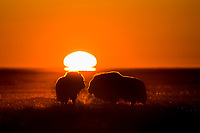 Muskox forage on the tundra at sunset along the Arctic Coastal Plains, Arctic, Alaska.