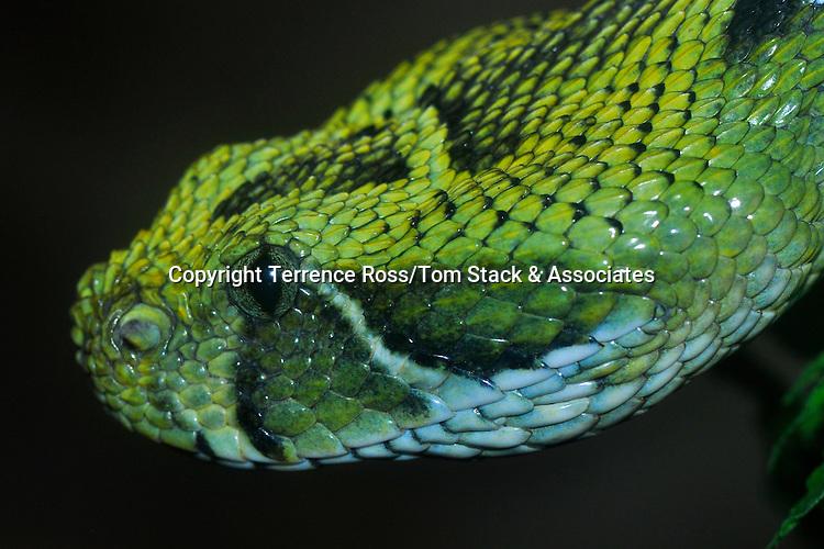 Ethiopian pit viper, Bitis parviocula