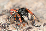 Jumping spider, Male Philaeus chrysops, Lesvos, Greece , lesbos
