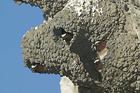Cliff Swallows (Petrochelidon pyrrhonota) in their nest made of mud