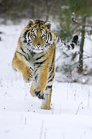 Siberian Tiger running across a snowy field - CA