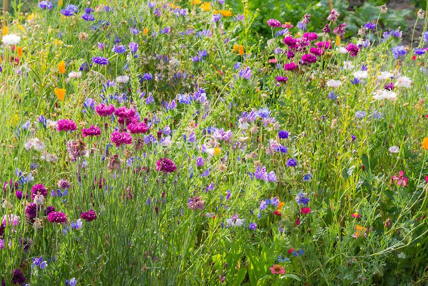 Prairie fleurie avec bleuet barbeau, Centaurea cyanus // cornflower,  Centaurea cyanus, in a garden