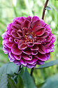 Dahlia 'Hot Chocolate', early August.