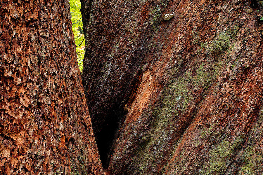 Trunks of giant Douglas fir trees, Grove of the Patriarchs, Mount Rainier National Park, Washington, USA
