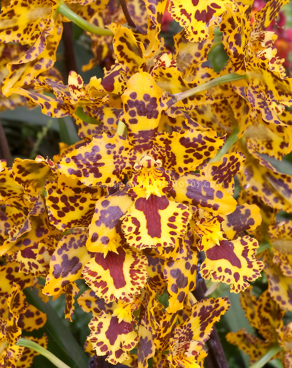 Colmanara aka Odontocidium Wildcat orchid in wild patterns . Correct genus is now Oncostele. Oncostele Wildcat.