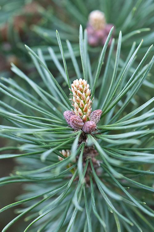 Dwarf mountain pine (Pinus mugo 'Mops'), early April.