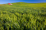 Whitman County, WA<br /> Red shed in a wheat field in rolling hills of the Palouse region of eastern Washington