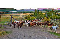 Cowboys release horses from corral in Jackson Hole, Wyoming at dawn with Grand Tetons in background, August 2007.