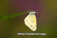 03109-001.02 Dainty Sulphur (Nathalis iole) male, Marion Co. IL